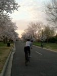 Cherry Blossoms 2013 2