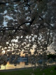 Cherry Blossoms 2013 5