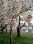 Cherry Blossoms 2013 7