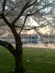 Cherry Blossoms 2013 9