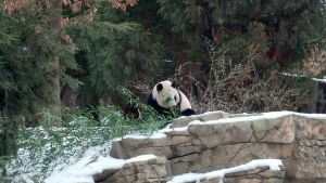 Bao Bao was sleeping inside but her parents were playing.  I think this is her dad (Photo Credit: Nicole Tidwell)